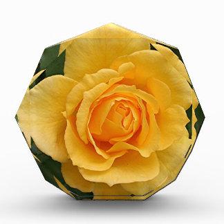 Yellow rose flower in bloom in garden 2 awards