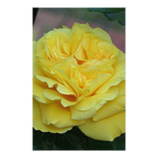 Yellow rose flower in bloom in garden stationery