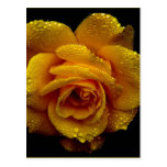 Yellow Rose of Love Postcard