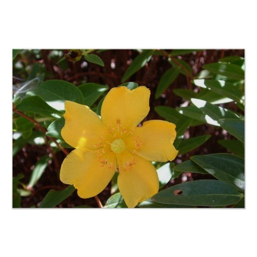 Yellow Rose of Sharon Print