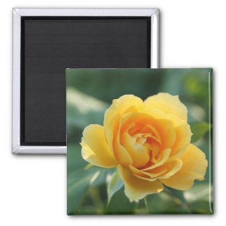 Yellow Rose of Texas 2 Inch Square Magnet