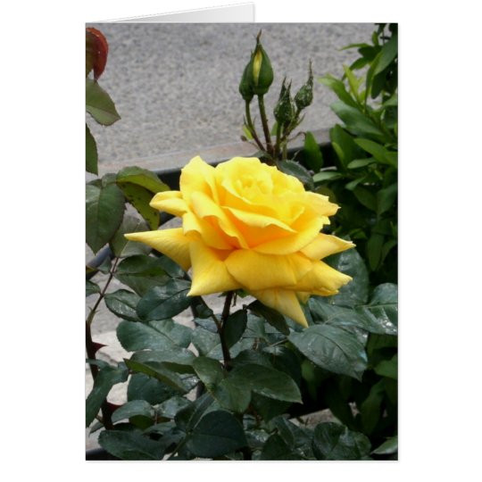 Yellow Rose of Texas Card