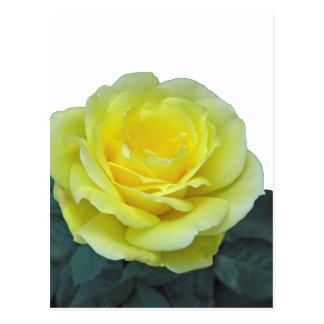 YELLOW ROSE, OF TEXAS? POSTCARD