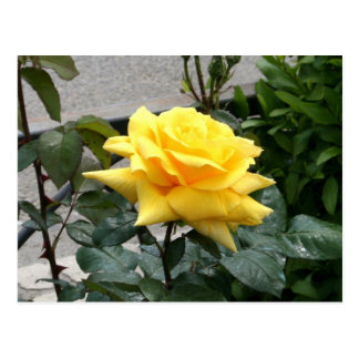 Yellow Rose of Texas Postcard