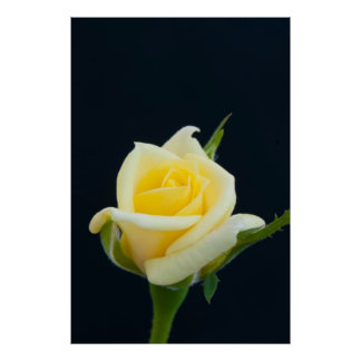 Yellow rose on the black background posters
