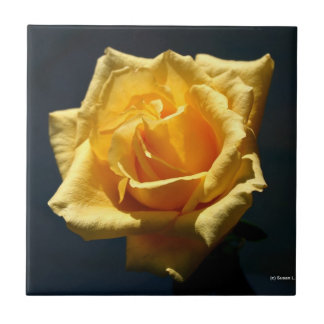 Yellow Rose photograph against dark background Tile