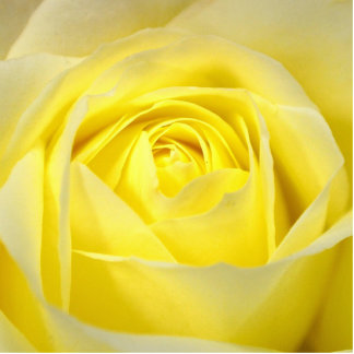 Yellow Rose Photo Cut Outs