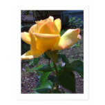 Yellow Rose Post Card