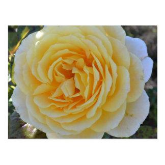 Yellow Rose Postacard Postcard