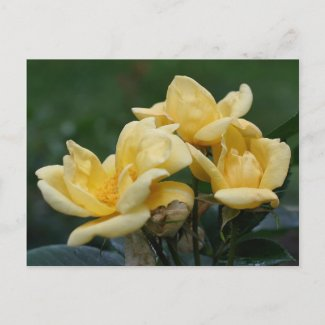 Yellow Rose Trio Flower Photo Postcard postcard