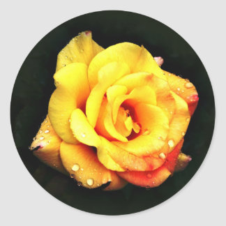 Yellow rose with rain drops classic round sticker