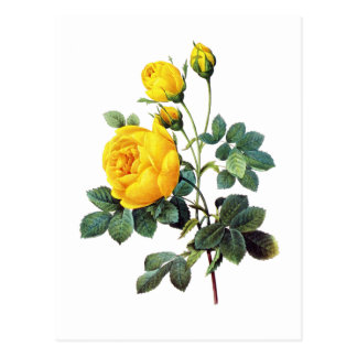 Yellow Roses by Pierre Joseph Redoute Postcard