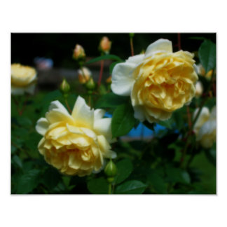 Yellow Roses In Bloom Flower Poster