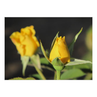 Yellow Roses Poster