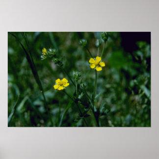yellow Rough Cinquefoil (Potentilla Norvegica) flo Posters