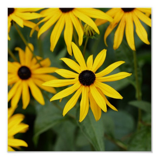 Yellow Rudbeckias Flower Poster