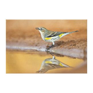 Yellow-Rumped Warbler (Dendroica Coronata) Canvas Print