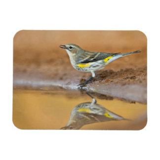 Yellow-Rumped Warbler (Dendroica Coronata) Magnet