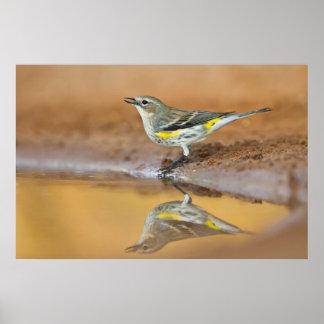 Yellow-Rumped Warbler (Dendroica Coronata) Poster