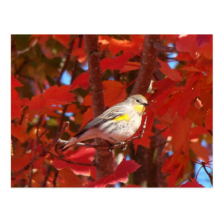 Yellow-rumped Warbler Postcards