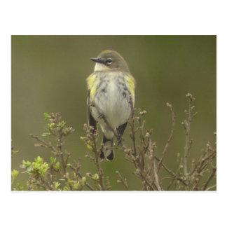 Yellow-rumped Warbler Postcard