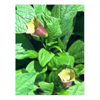 yellow Scopolia Carnioli flowers Postcard