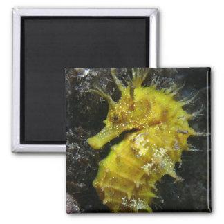 Yellow Seahorse | Hippocampus Guttulatus Magnet