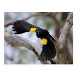 Yellow-shouldered Blackbird in Flight Post Card