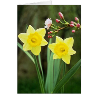 yellow Small-cupped Narcissi, 'Baby Doll' flowers Cards