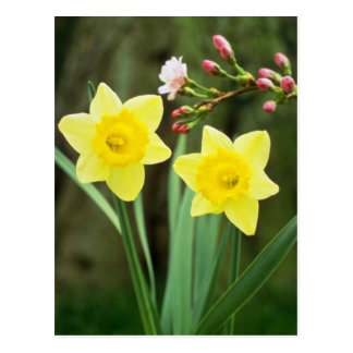 yellow Small-cupped Narcissi, 'Baby Doll' flowers Postcard