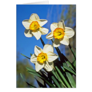 Yellow Small-cupped Narcissi, 'Barrett Browning' f Greeting Cards