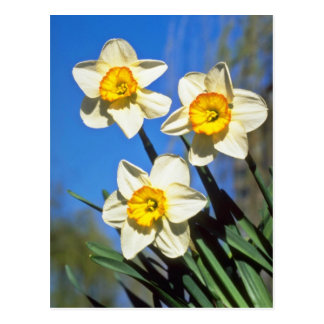 Yellow Small-cupped Narcissi, 'Barrett Browning' f Postcard