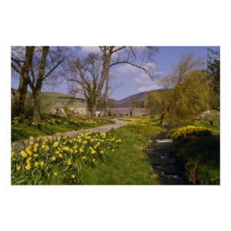 yellow Spring Daffodils, Borders, Peebles flowers Poster