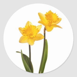Yellow Spring Daffodils on White Classic Round Sticker
