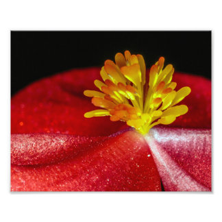 Yellow Stamens of a Red Begonia Photo Print