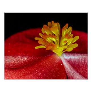 Yellow Stamens of a Red Begonia Poster