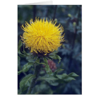 yellow Star Thistle, (Centaurea Macrophala) flower Card