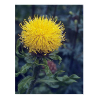 yellow Star Thistle, (Centaurea Macrophala) flower Postcard
