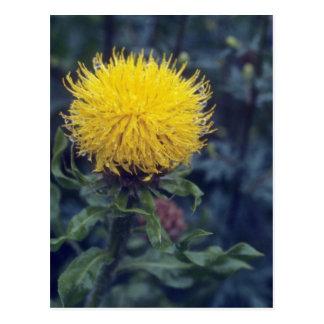 yellow Star Thistle, (Centaurea Macrophala) flower Postcard