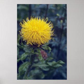 yellow Star Thistle, (Centaurea Macrophala) flower Print