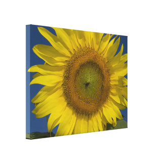 Yellow Sunflower and Blue Sky Canvas Print