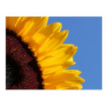 Yellow Sunflower and Blue Sky Post Card