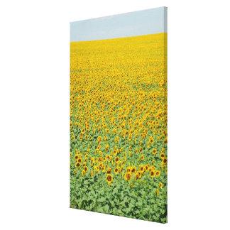 Yellow Sunflower Field Canvas Print