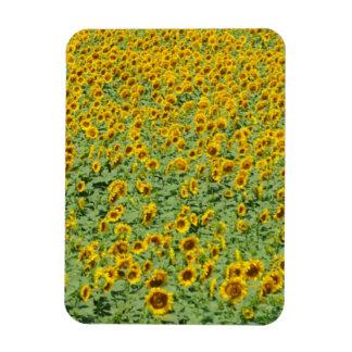 Yellow Sunflower Field Magnets