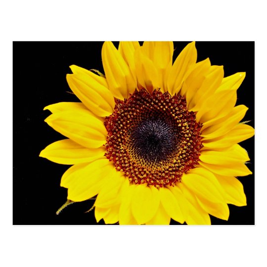 Yellow sunflower  flowers postcard