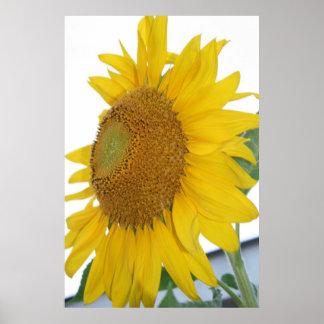 yellow sunflower macro art poster