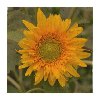 Yellow Sunflower Drink Coaster