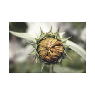 Yellow sunflower with closed petals canvas print