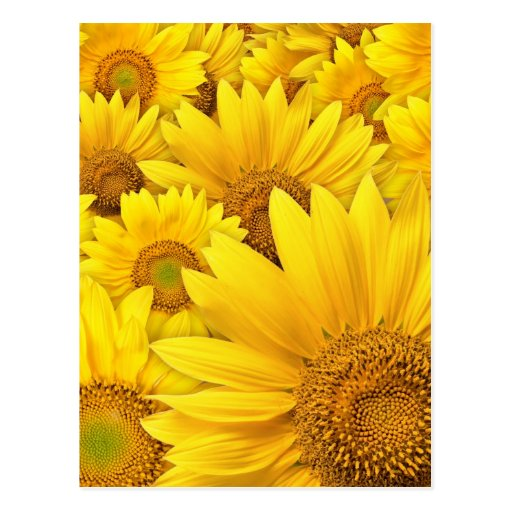 Yellow Sunflowers Post Cards