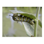 Yellow swallow tail butterfly caterpillar postcard